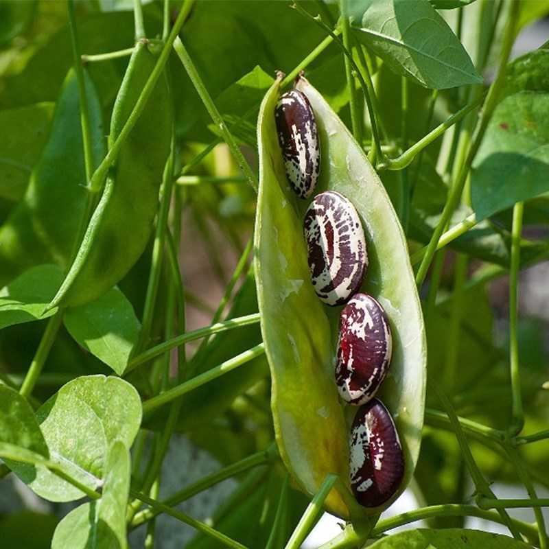 Giá trị dinh dưỡng của đậu xanh