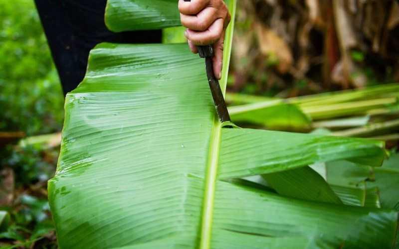 Dùng lá chuối xanh có thể giúp giảm ngứa khi gọt khoai