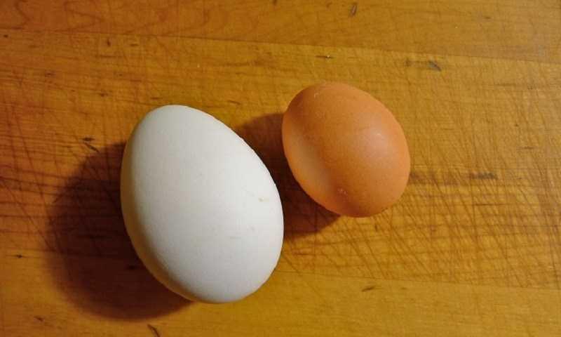 Sự khác biệt giữa trứng gà và trứng vịt v� ngoại hình