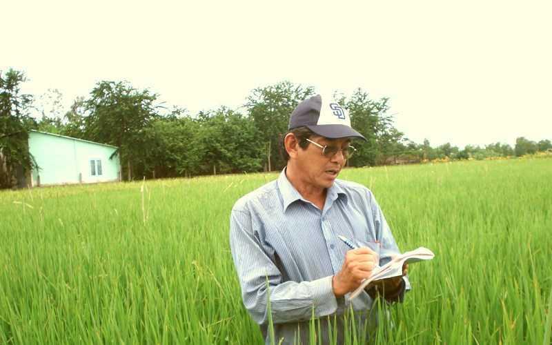 Gạo ST25 được trồng theo phương pháp hữu cơ