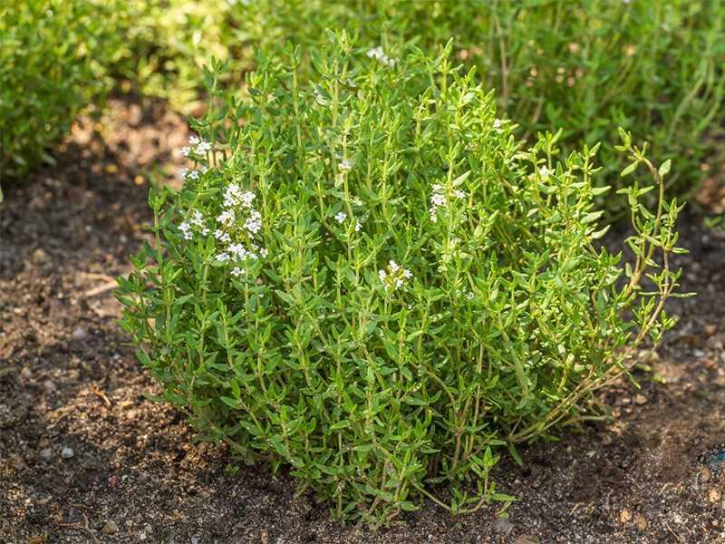 vườn cỏ xạ hương trồng