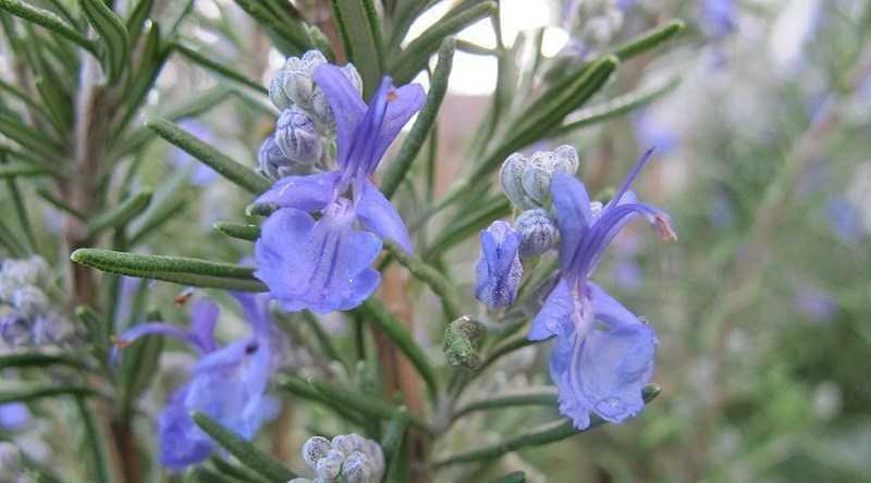 Đặc điểm của cây hương thảo - rosemary