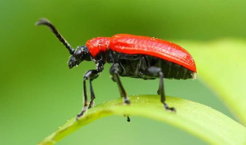 Tinh dầu hương thảo diệt côn trùng và động vật gây hại