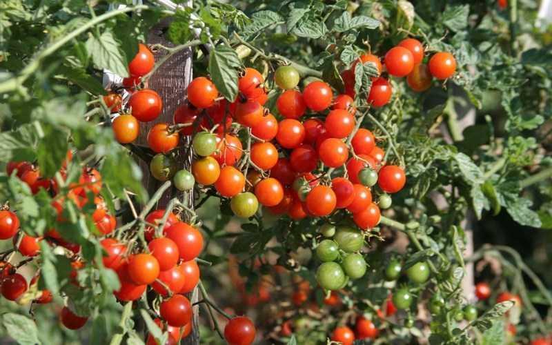 Cà chua lùn quả đỏ