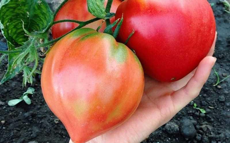 Trái tim cà chua