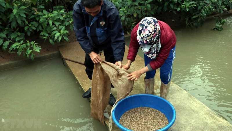 Trà xanh sống ở vùng nước giàu vi khuẩn