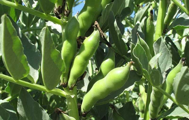 Đậu tằm - đậu fava là gì?