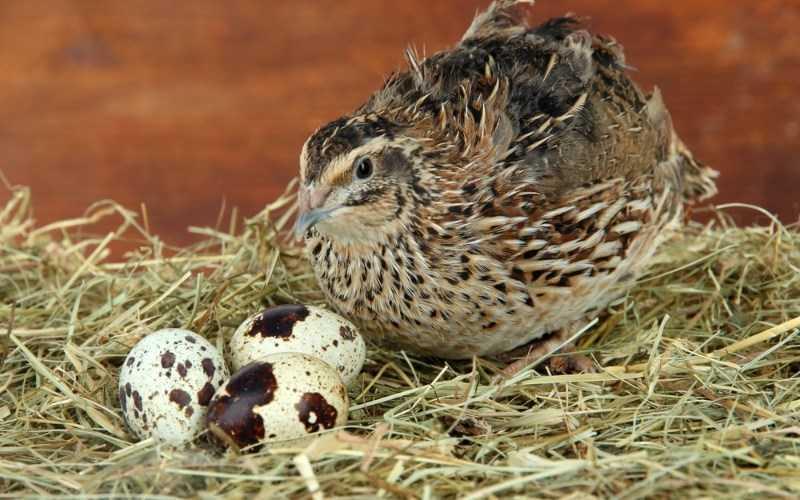 Đặc điểm của trứng cút