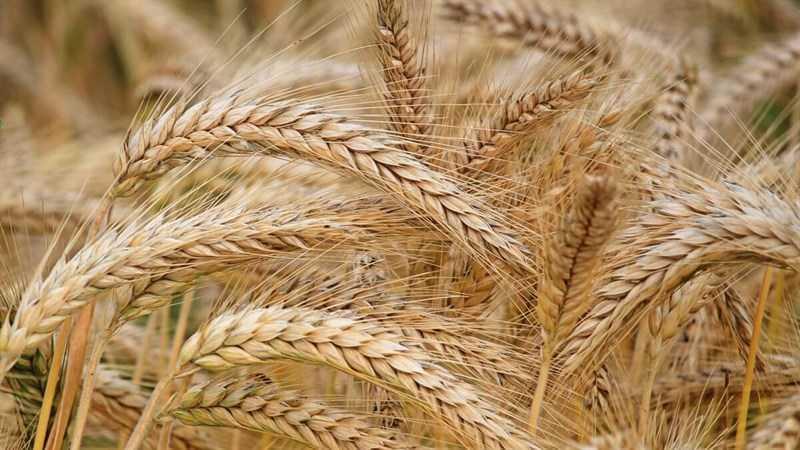 Lúa mì là gì