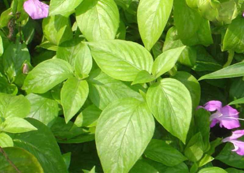 Hoa trà tím