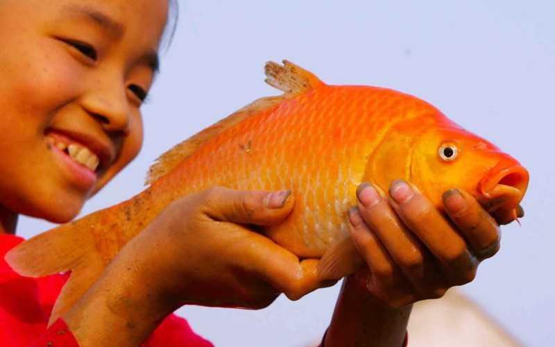 cá chép hồng