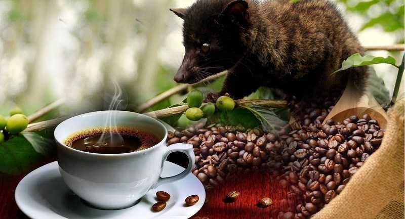 Cà phê chồn được sản xuất như thế nào?