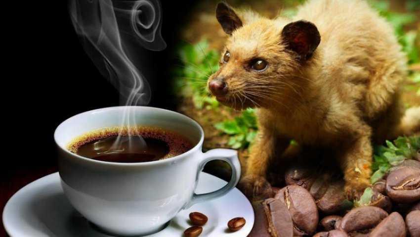 Cà phê chồn là gì?  Nguồn gốc, quy trình làm và giá cả