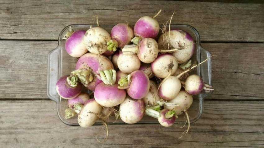 Củ cải củ cải là gì?  Thành phần dinh dưỡng và tác dụng