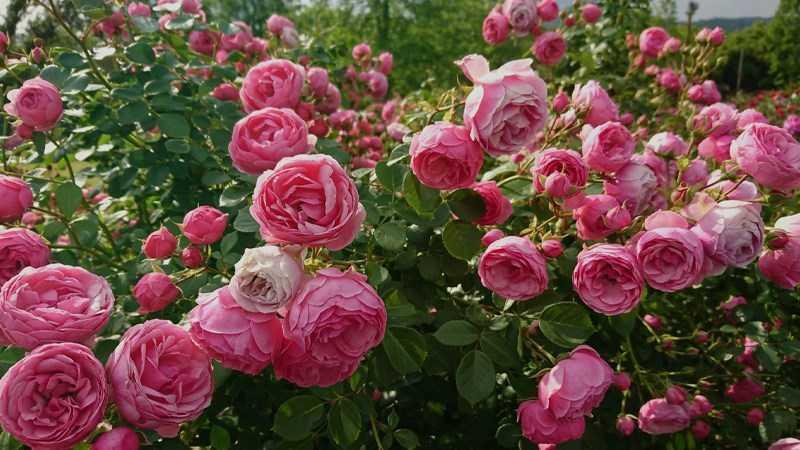 Hoa hồng rất tốt cho sức khỏe