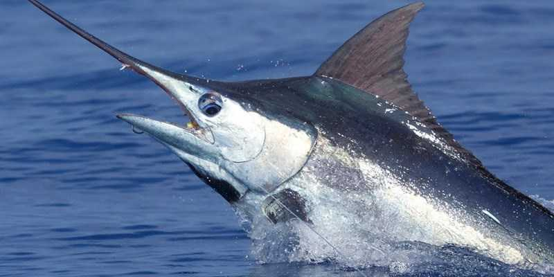 cá c� xanh