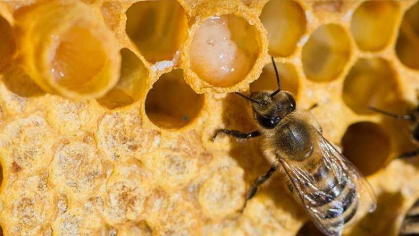 Sữa ong chúa là gì?  Chức năng