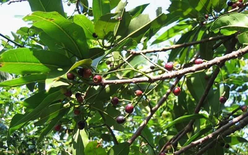 Cây duối là một loại cây dân dã, xuất hiện ở nhi�u nơi.