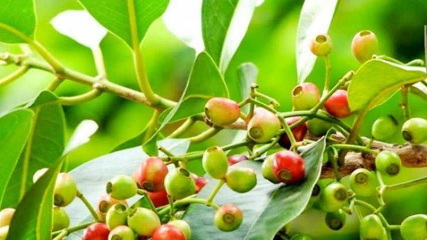 Lá cây là gì, hãm nước lá vối, tác dụng của cây lá lốt.