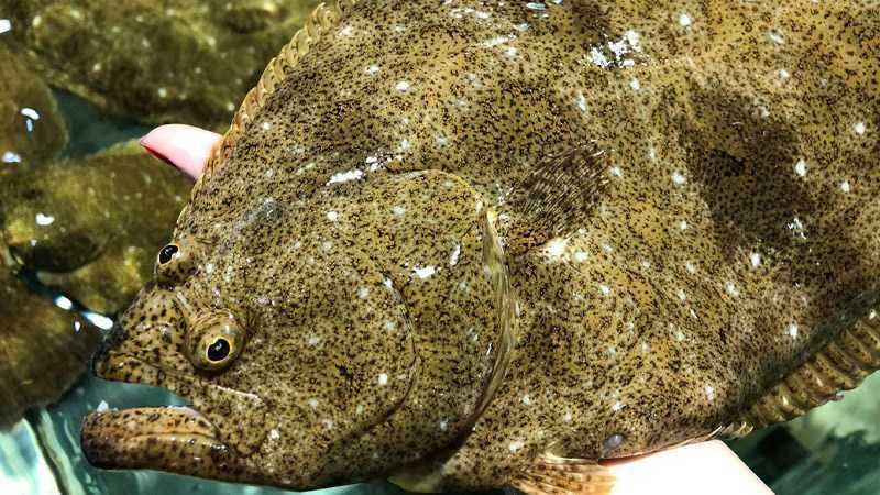 Cá bơn là cá thịt trắng