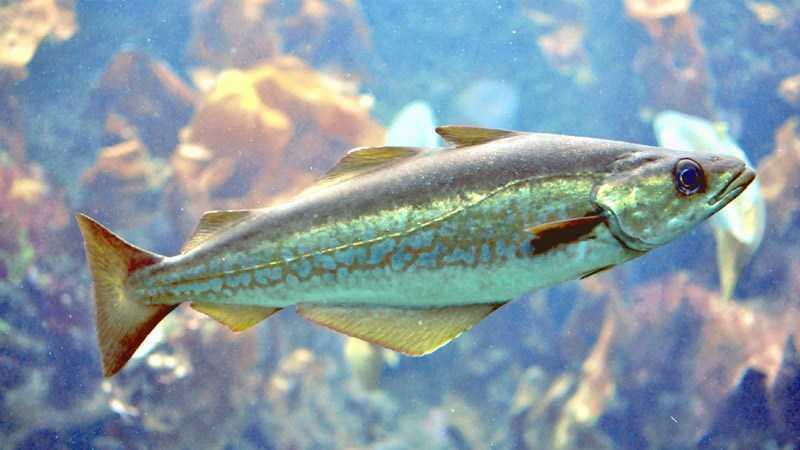 Cá minh thái Alaska là một loài cá trắng