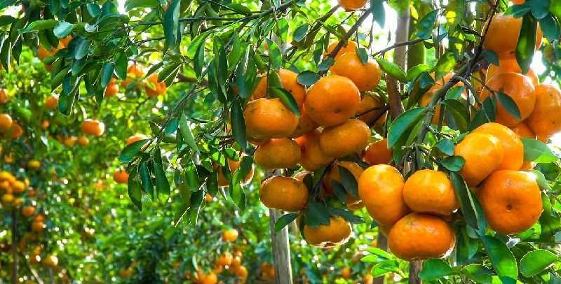 Tangerine (quýt đỏ)
