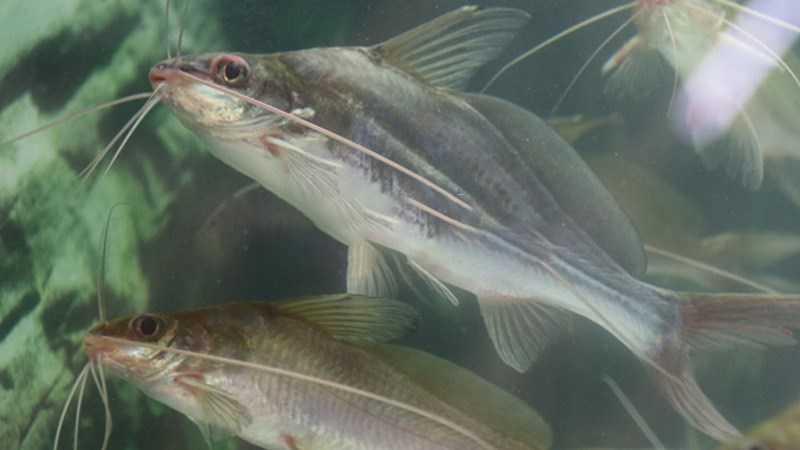 Pinfish - cá ngạnh là gì?