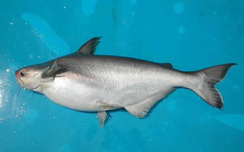 Cá hú là cá gì?